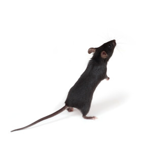bigstockphoto_Little_Mouse_921033
